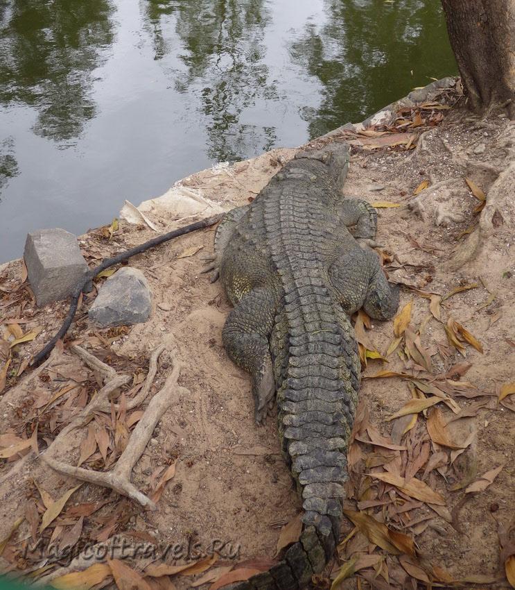 crocodile02