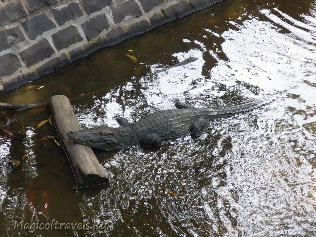 crocodile10