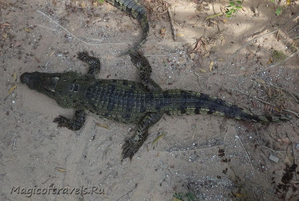 crocodile11