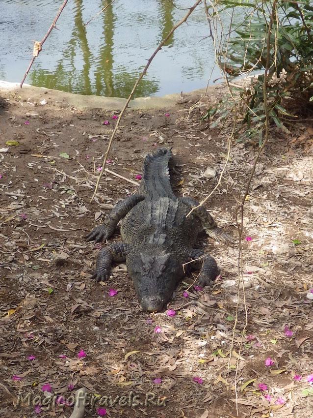 crocodile12