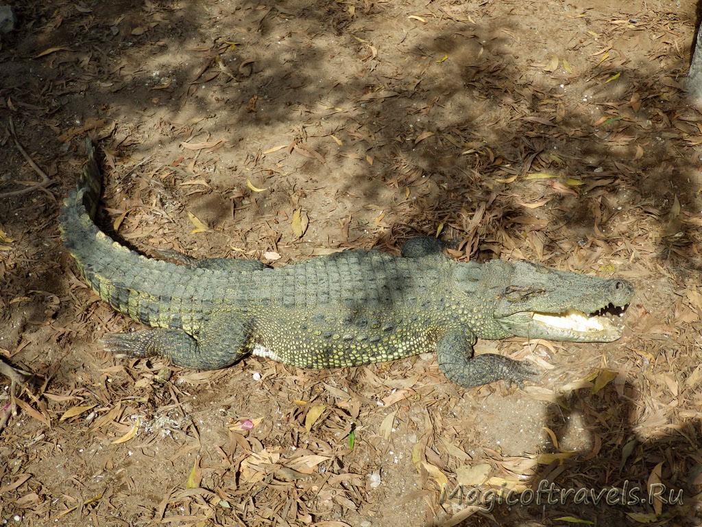crocodile13